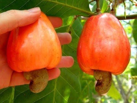 Как растет орех кешью видео