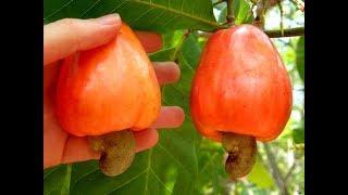 КЕШЬЮ, вы знаете, что этот орех растет на яблочке?