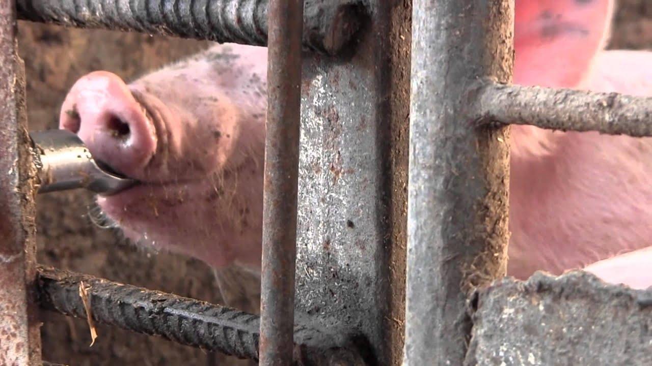 Совокупление свиней видео фото 38-443