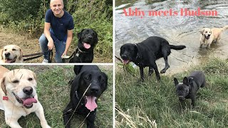 GUIDE DOG ABBY MEETS RETIRED GUIDE DOG HUDSON FOR THE FIRST TIME