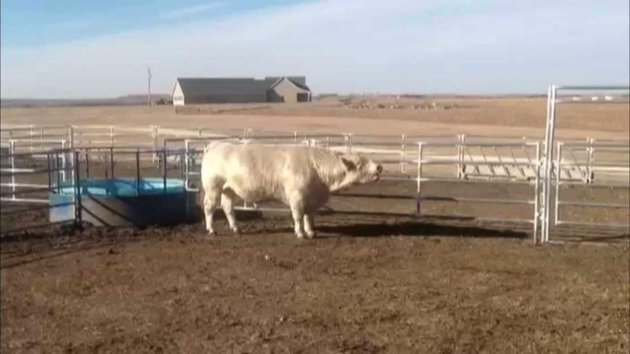 фото коров породы