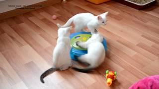 Как тайские котята зажигательно играют в кошачью рулетку! Тайские кошки - это чудо! Funny Cats