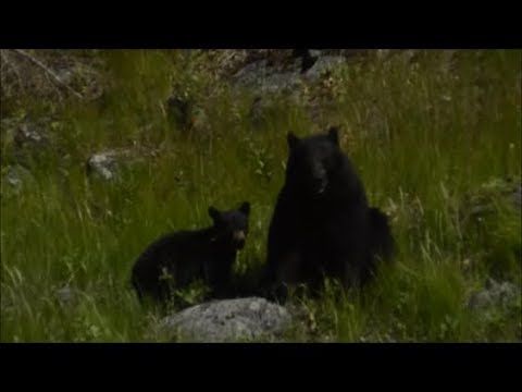Yellowstone National Park pt.2 WE SAW BEAR CUBS!! (late upload)