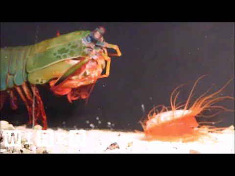 How the Disco Clam Uses Light to Fight Super-Strong Predators | WIRED