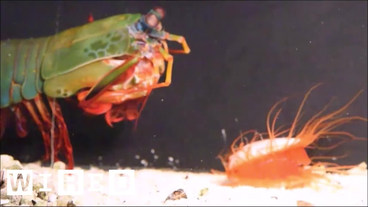 How the Disco Clam Uses Light to Fight Super-Strong Predators