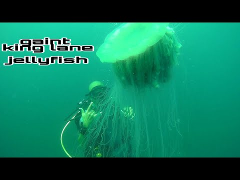 Lion Mane Jellyfish
