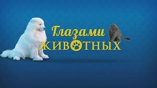 Глазами животных #228. Ездовые собаки маламуты, самоеды, хаски, упряжка, скайджоринг