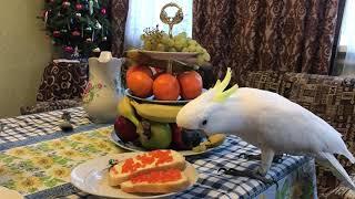 Попугай Какаду Кирюня поедает красную икру