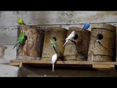 Эта запись спровоцирует ВАШИХ попугаев к размножению. УДАЧИ.
