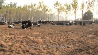 Dairy cattle farm, Punjab