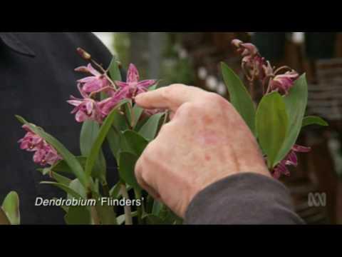 Australian Native Orchids at Australian Orchid Nursery