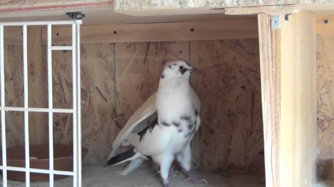 how to get rid of a pigeon nest with eggs
