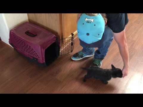 Cairn Terrier Puppy Training