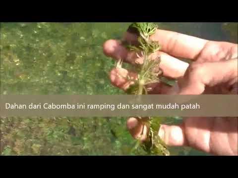 Berburu tanaman aquascape Cabomba Caroliniana di Cikandung Sumedang