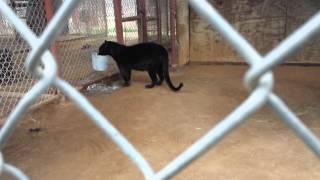 Raven the black leopard is a frisky, cutie-patootie
