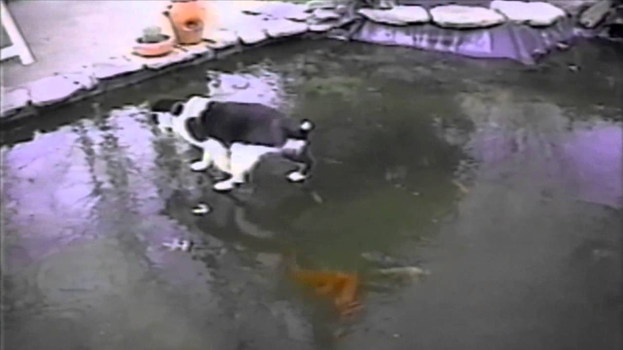 Cat trying to get some fish on frozen pond funny cats for Premade koi ponds