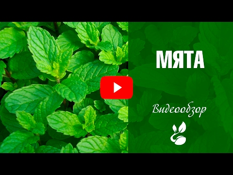 Мята 🌿 Полезные свойства и особенности выращивания ✅ Советы от эксперта