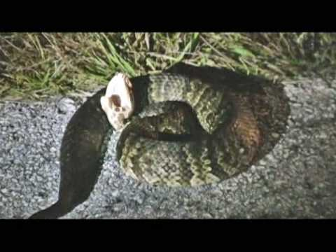 Florida Cottonmouth (W...