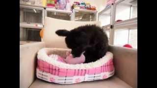 10月4日生まれのミックス犬(父:トイプードル 母:パピヨン)ブラック...