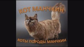 Кот Манчкин: коты породы Манчкин