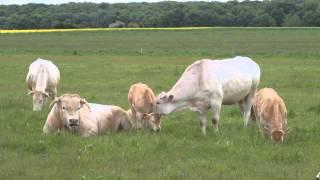 MAI 2013 Vaches Veaux Taureau *