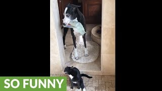 Great Dane delivers newspaper to showering cat