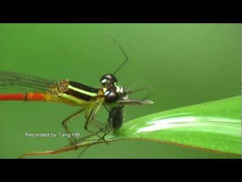 Damselfly devours a mosquito