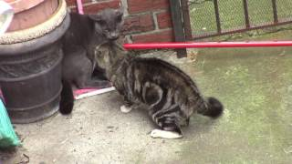 Cats Body Slam And Off Wall Ninja Attack In Violent Fight UNBELIEVABLE!