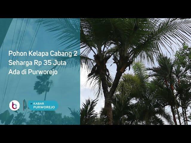 Pohon Kelapa Cabang 2, Seharga Rp 35 Juta Ada di Purworejo