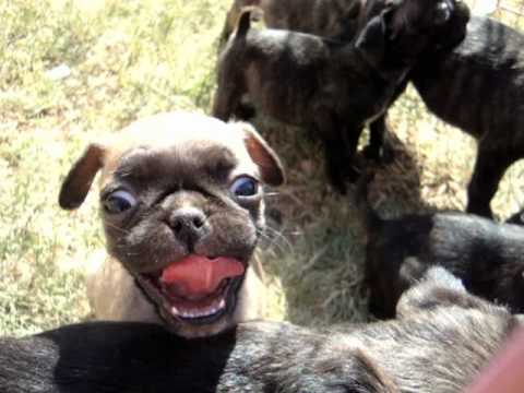 boston terrier pug mix puppies for sale bugg pug boston terrier mix pups for sale in midland 6471