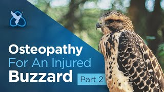 Osteopathy for an injured Buzzard - Part 2