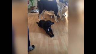 Поющие собаки Singing Dog