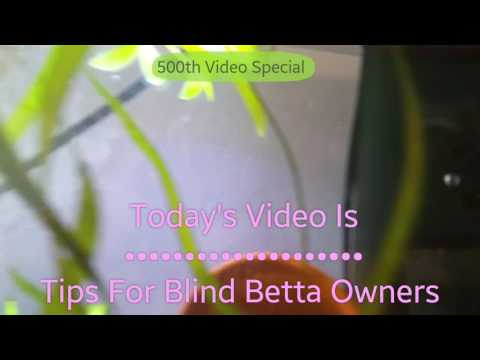 Tips For Blind Betta Owners ◇ 500th Video!!
