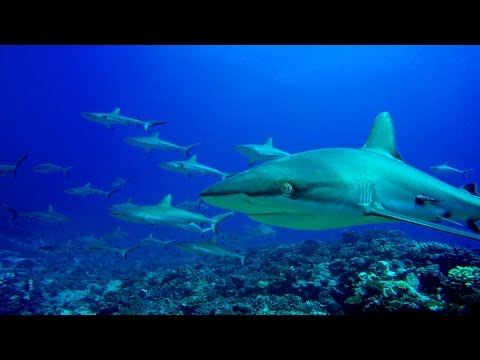 Diving in French Polynesia ( Fakarava and Rangiroa ) 4K
