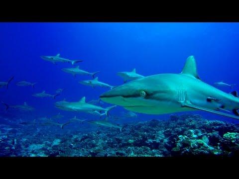 Diving in French Polynesia ( Fakarava and Rangiroa ) 4K