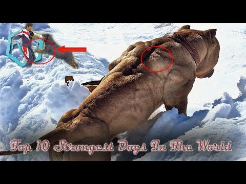 top-10-strongest-dogs-in-the-world