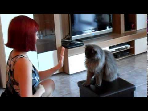 Clickertraining mit Leo / Clickertraining with Maine Coon