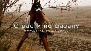 Охота на фазана в Украине видео