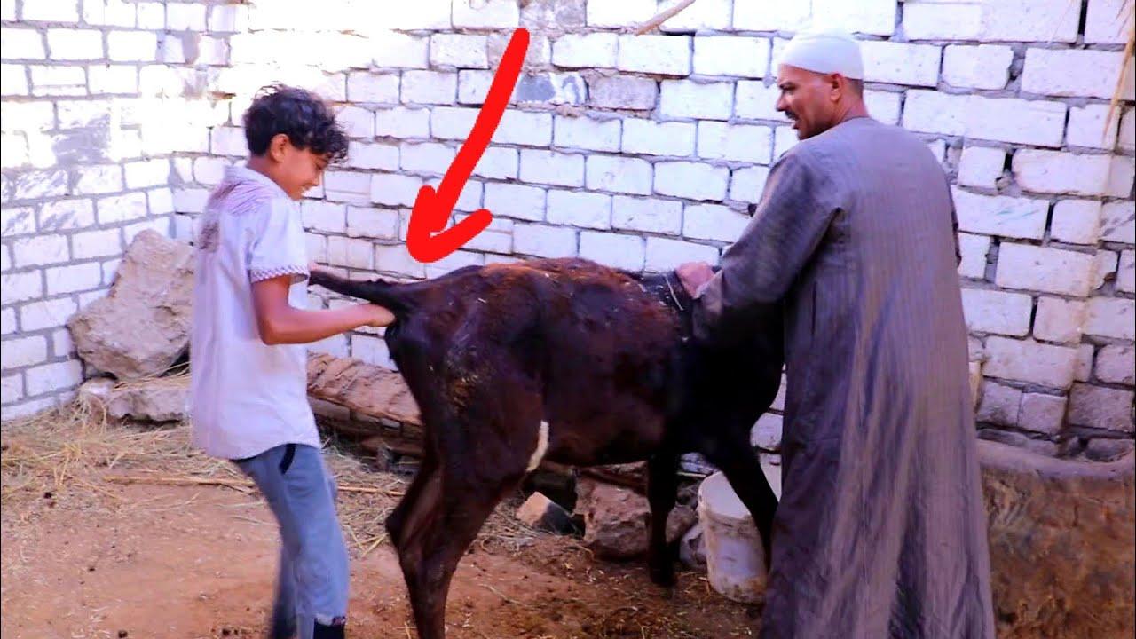 لن تصدق ماذا فعل مصباح وابنه مصطفى في البقره اللي هياخدها مقطوش ولكن حصل شى غير متوقع