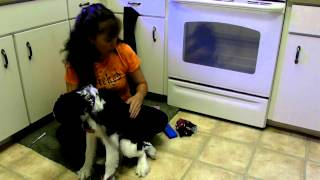 How To Microchip Your Dog Avid Springer Spaniel Duke