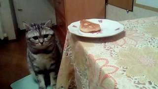 Наглая кошка не ест БЛИНЫ !