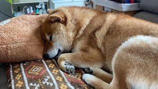 柴犬、ママを期待して昼寝する様子がかわいすぎた。