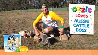 Learn About Bluey Dogs or Australian Cattle Dogs with Ozzie   Educational Video For Kids About Dogs