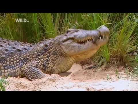 Суперхищники Нильский Крокодил National Geographic