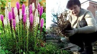 видео Вискария - выращивание из семян и уход