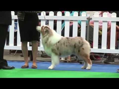 City of Birmingham Dog Show 2016 - Pastoral group - Shortlist