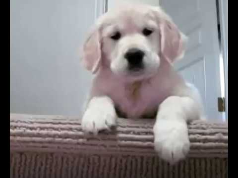 Cute Golden Retriever Puppy - Lindos Cachorritos