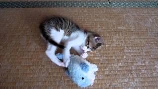 飼い猫のチョコたんは、 イルカのぬいぐるみが大好きです。 赤ちゃんの...