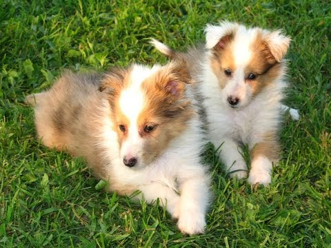Shetland Sheepdog, Puppies, Dogs, For Sale, In Jackson, Mississippi, MS, 19Breeders, Hattiesburg
