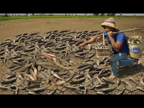 Unbelievable! This Fishing Dry Fish In Dry Season 2021 - Catch Copper Snakehead Fish  Wild Dry Soil